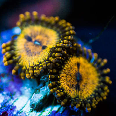 Zoanthids For Sale