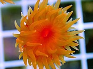 Dendrophyllia Dendero Corals
